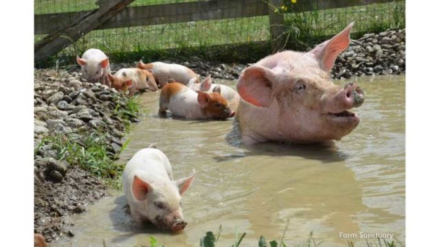 Pig In Mud 002 - GiveMeSomeEnglish!!!