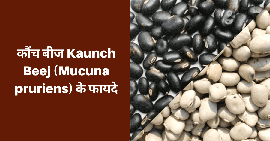 kaunch-beej-कौंच-बीज-के-फायदे-Mucuna-pruriens-के-फायदे-by-herbal-daily-sampurn-ayurvedic-jankari