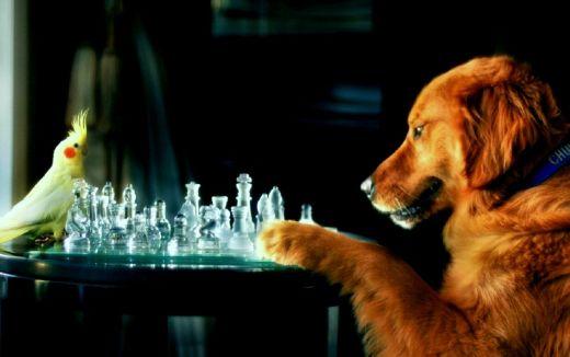 labrador z papugą nimfą gra w szachy