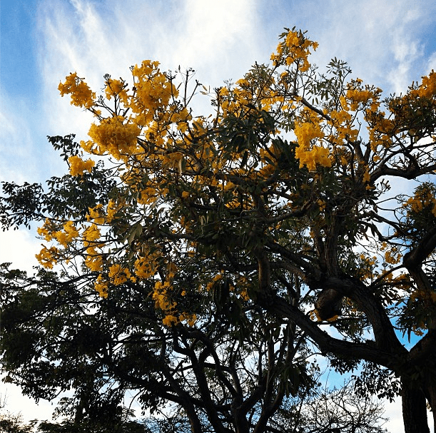 Yellow flowers in tree