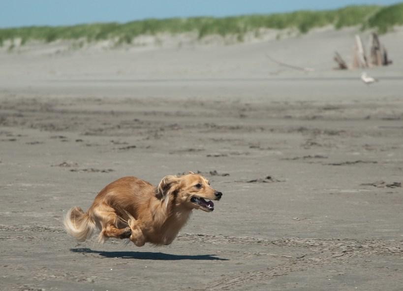 Running_Dachshund_at_the_beach