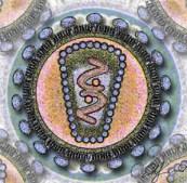 Schema stilizzato di una sezione del virus dell'HIV