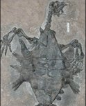 Fossile di Odontochelys semistestacea scoperto in Cina