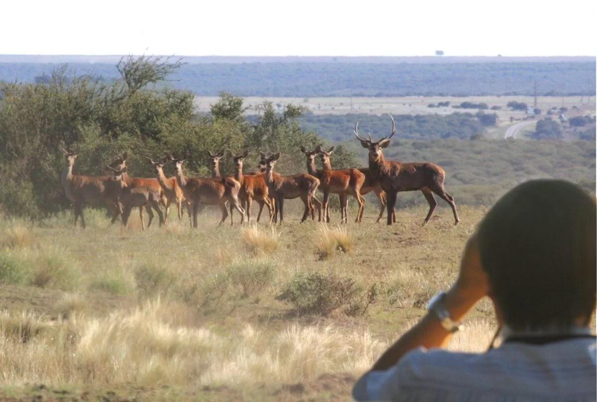 Brama de Ciervos en La Pampa