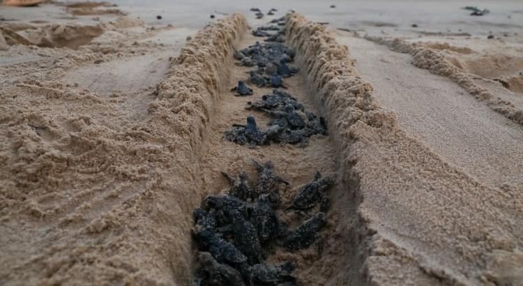 praia-de-piedade,-no-jaboatao,-volta-a-ser-palco-do-nascimento-de-filhotes-de-tartaruga-marinha