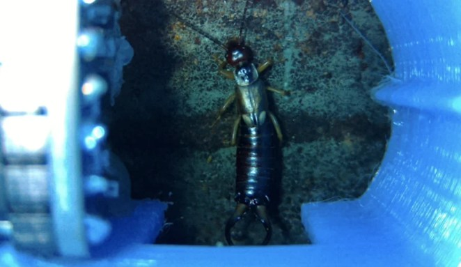 An as-yet-unresolved issue is how to photograph booth visitors, such as this earwig, from the bottom as well as the top to aid identification