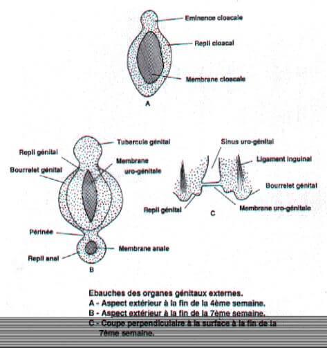 Ebauche des organes genitaux externes de 4 a 7 semaines