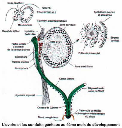 L'ovaire et les conduits genitaux au 4eme mois du developpement