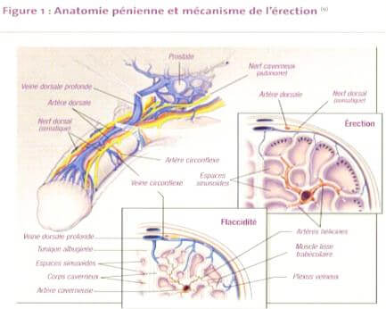 c-anatomie penienne et mecanisme de l erection