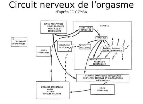 j-circuit nerveux de l'orgasme