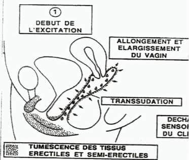 p-reaction vaginale - debut de l'excitation