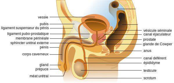 Anatomie appareil sexuel masculin