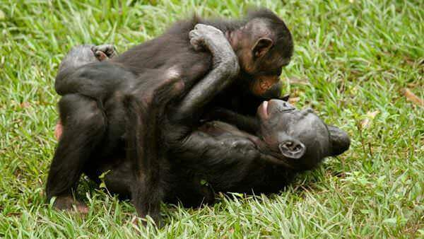 Bonobo-missionaire