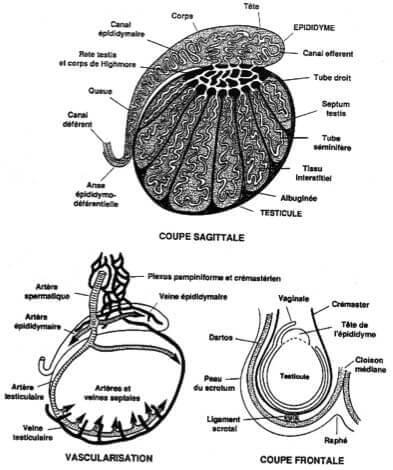 Organisation generale et vascularisation testicule et epididyme