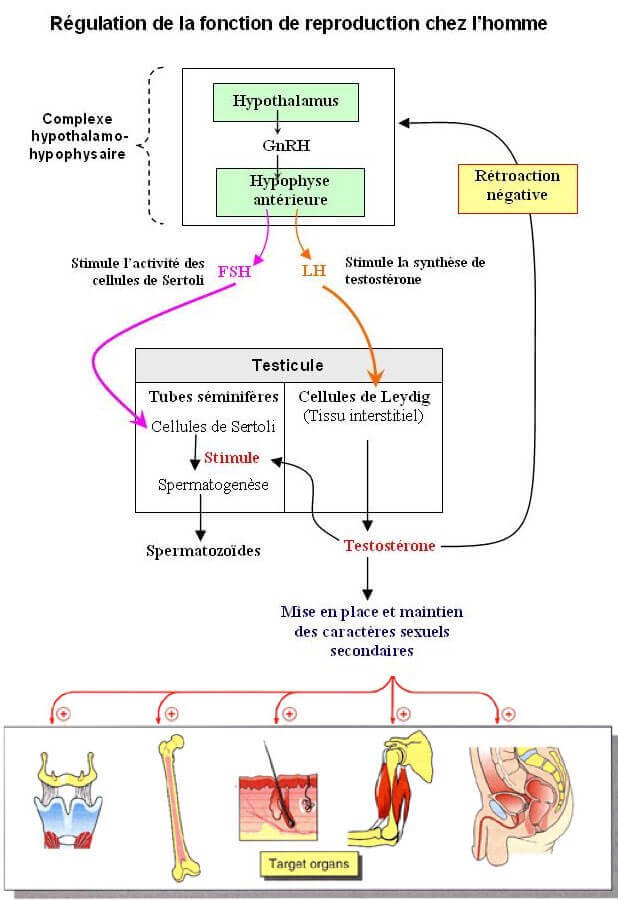 Schema_simple_regulation_reproduction_Homme