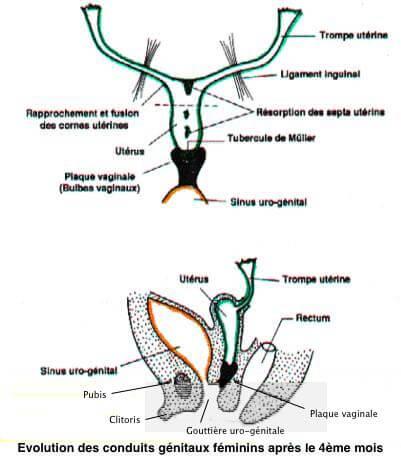 Conduits genitaux feminins 4e mois