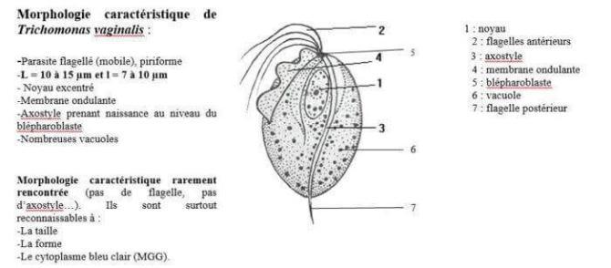Morphologie caractéristique de trichonomas vaginalis