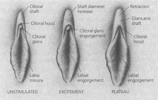 Modifications des petites lèvres suivant l'état d'excitation