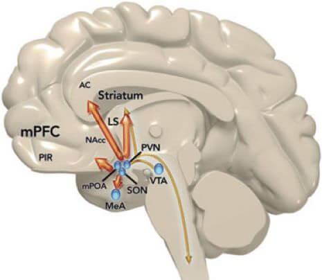 AC = gyrus cingulaire antérieur; mPOA région préoptique médiane =; NAcc = noyau accumbens; mPFC = cortex préfrontal médian; VTA = aire tegmentale ventrale; MeA = amygdale médiane, PIR = cortex piriforme