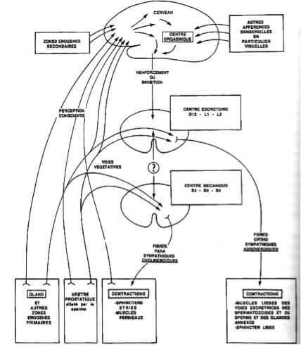 Organisation fonctionnelle générale du réflexe éjaculatoire