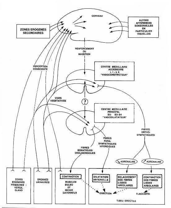 Organisation fonctionnelle générale du réflexe de l'érection