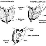 Organisation générale de la prostate