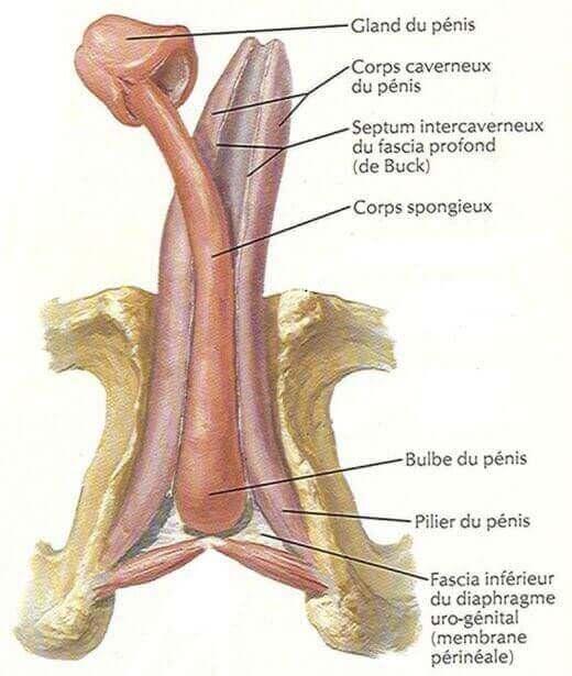Schéma des corps érectiles du pénis