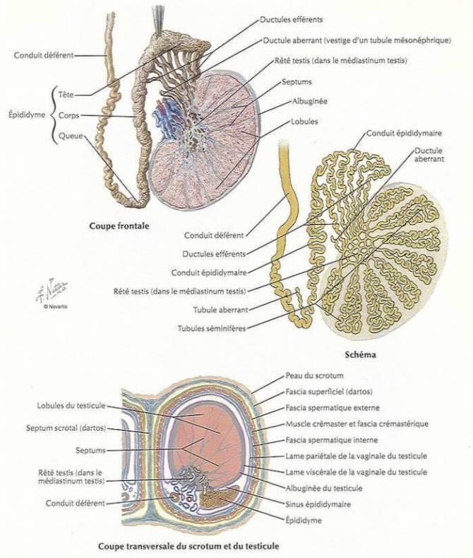 testicule epididyme conduit deferent
