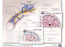 Une greffe de cellules souches pour soigner les troubles de l'érection