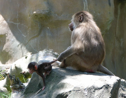 Auckland Zoo baboon baby