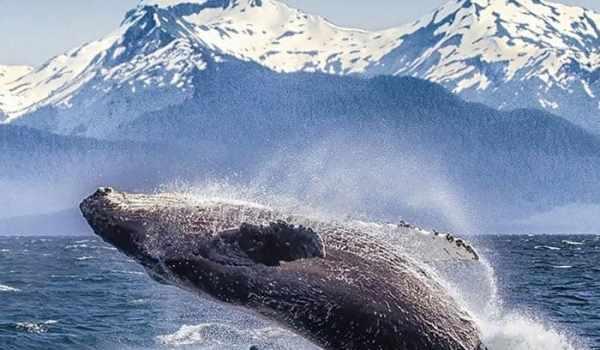humpback whale breaching alaska