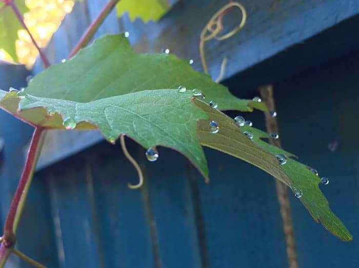 iPhone photo of leaf with drops