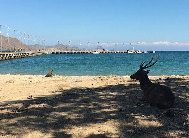 Deer on beach at Komodo island