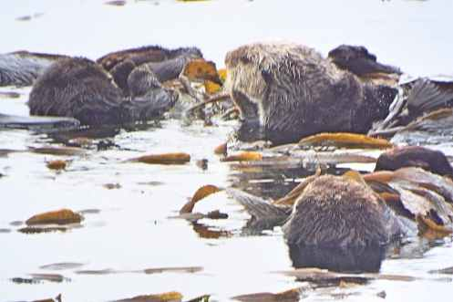 Sea Otters playing in Morro Bay