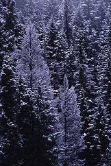 Trees in snow, photograph by Brent VanFossen, copyright Brent VanFossen, used with permission, cameraontheroad.com