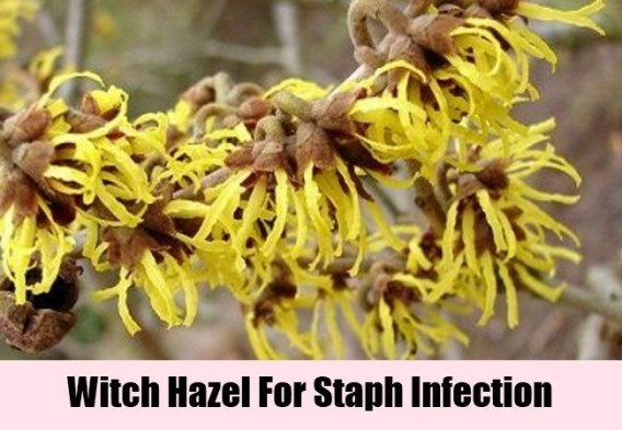 Witch Hazel For Staph Infection