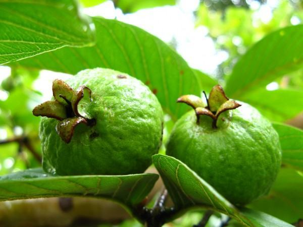 Guava Leaves for Toothache