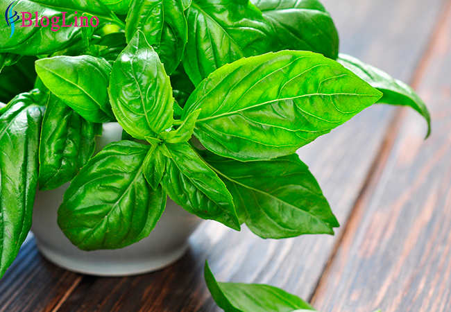 Basil to Treat Headache