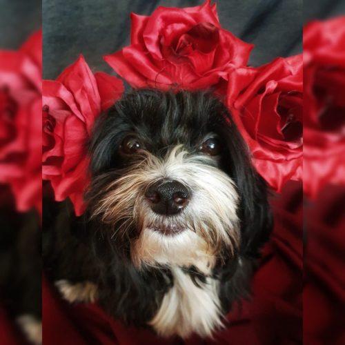 Hund Valentinstag Rosen