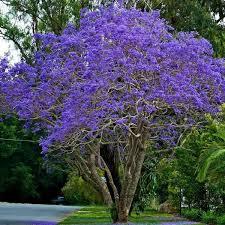 jacaranda leaves