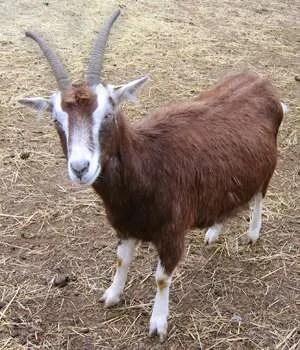 Man Accidentally Impregnates Goat