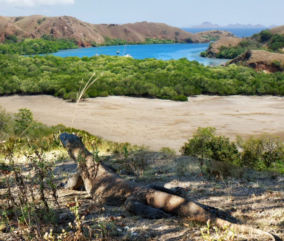 Komodo dragon and spectacular view to the Bay of Rinca island
