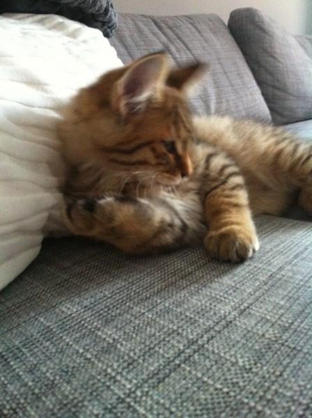 kitten mittens 12 weken 1