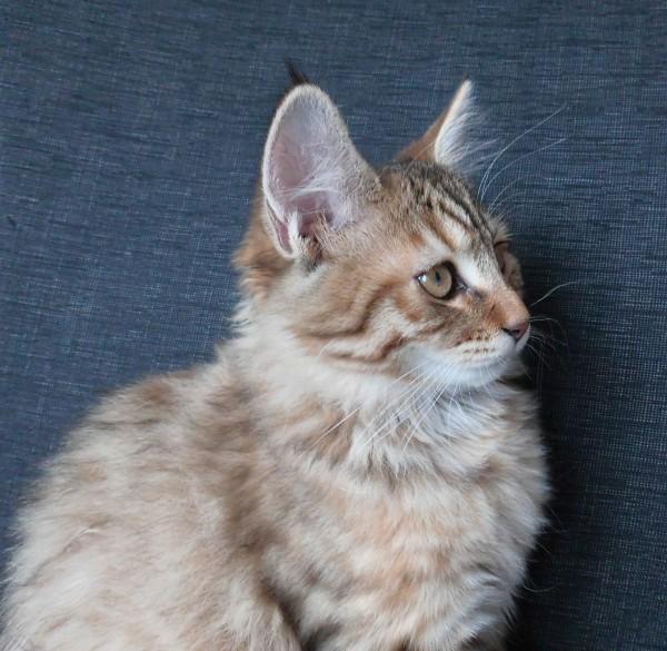 mittens-cutest-pixiebob-kitten-14-18-weken-2
