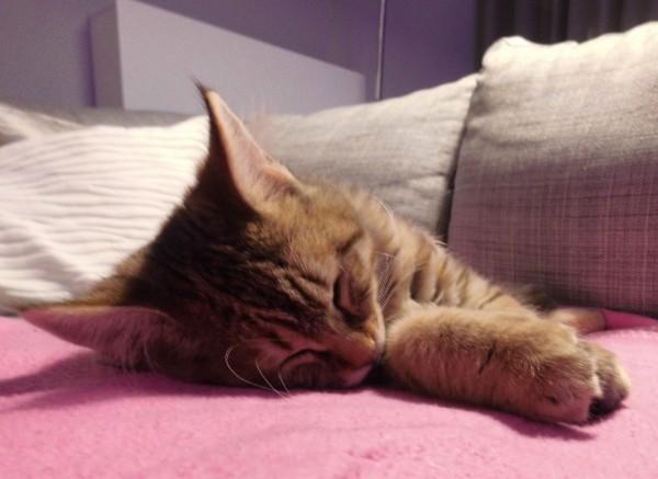 mittens-cutest-pixiebob-kitten-14-18-weken-9