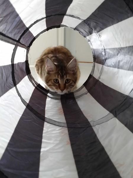 Pixiebob-kitten-mittens-een-half-jaar-10