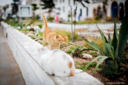 essaouira morocco cats