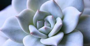 how to propagate echeverias the easy way