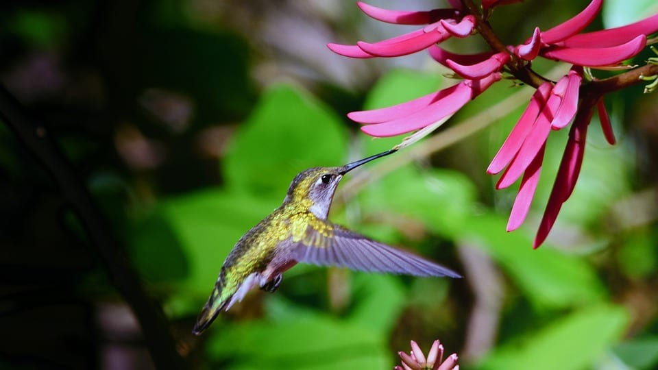 hummingbird pollinating flower