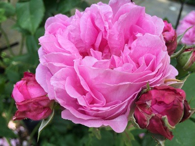 Mme_Isaac_Perrier_Rose